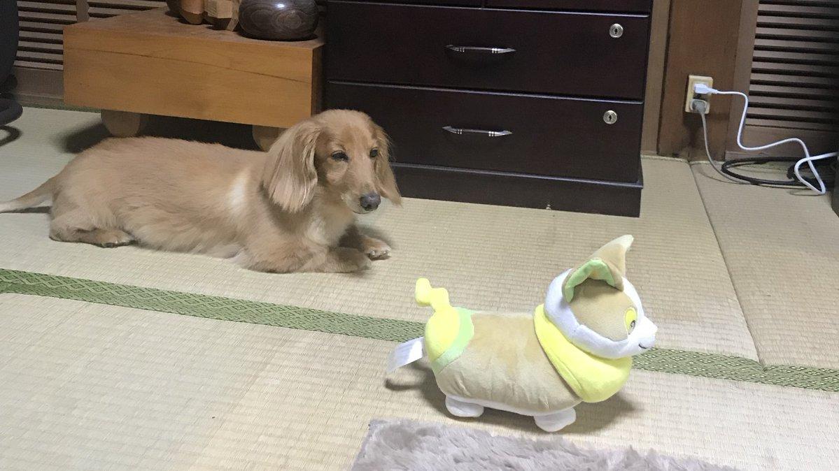先程までおばあちゃんと親戚にカワイイ〜と愛でられていたワンパチのぬいぐるみを凝視する犬