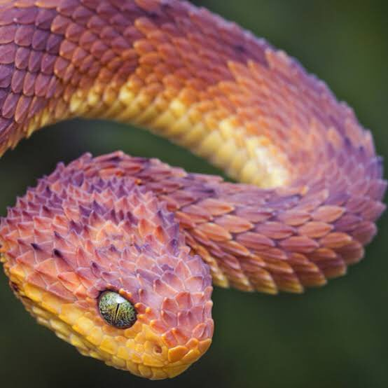 蛇は好きでも嫌いないのですが、ブッシュバイパーの見た目は素晴らしくて例外的に大好き