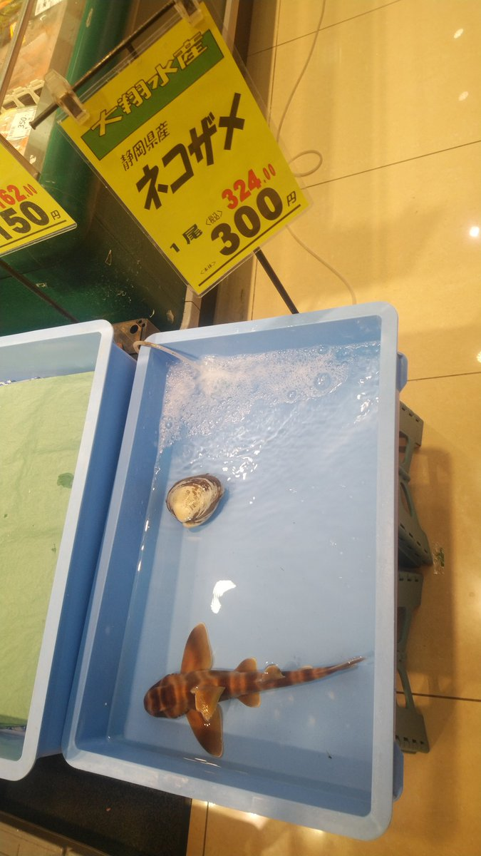 スーパーに生きたネコザメが売ってたんだが
