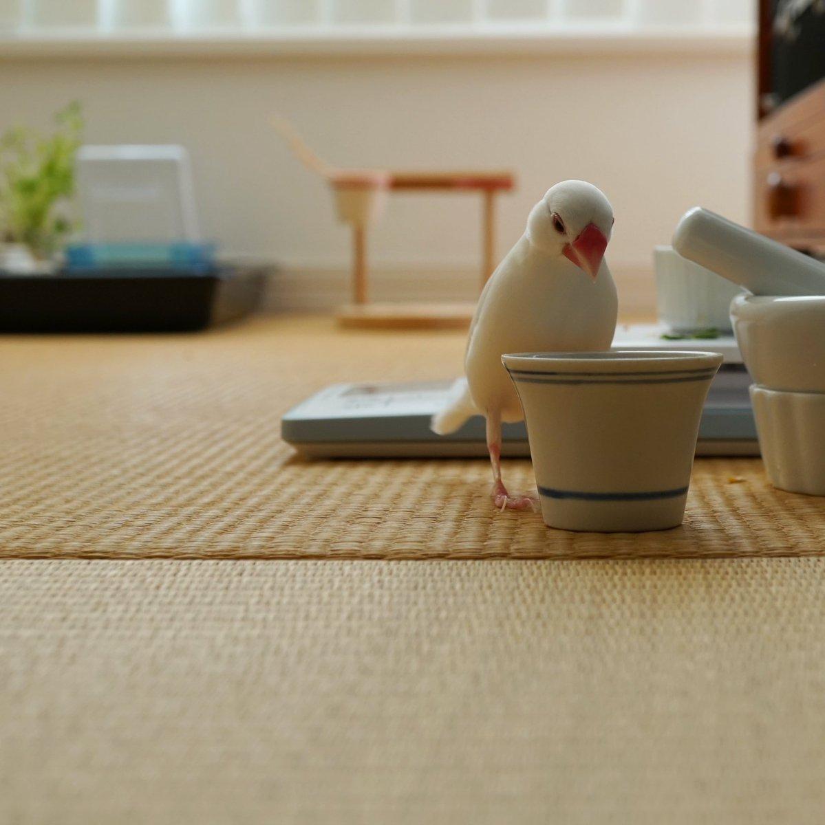 餌入れに餌が入っていないことを知った時の絶望感。  #文鳥