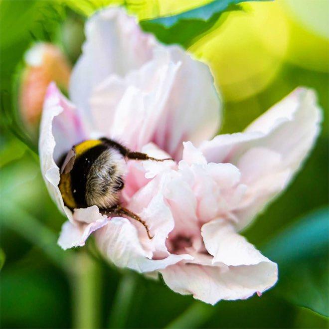「おしりがかわいい」と言われるハナマルバチは花粉をつけたまま花の中で眠っていることがある