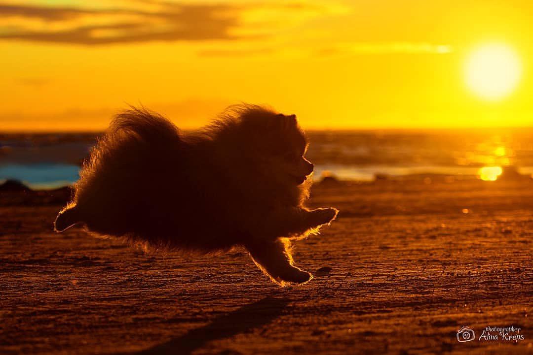ロシアの写真家さんの夕日を背にしたポメラニアンがとてもきれい