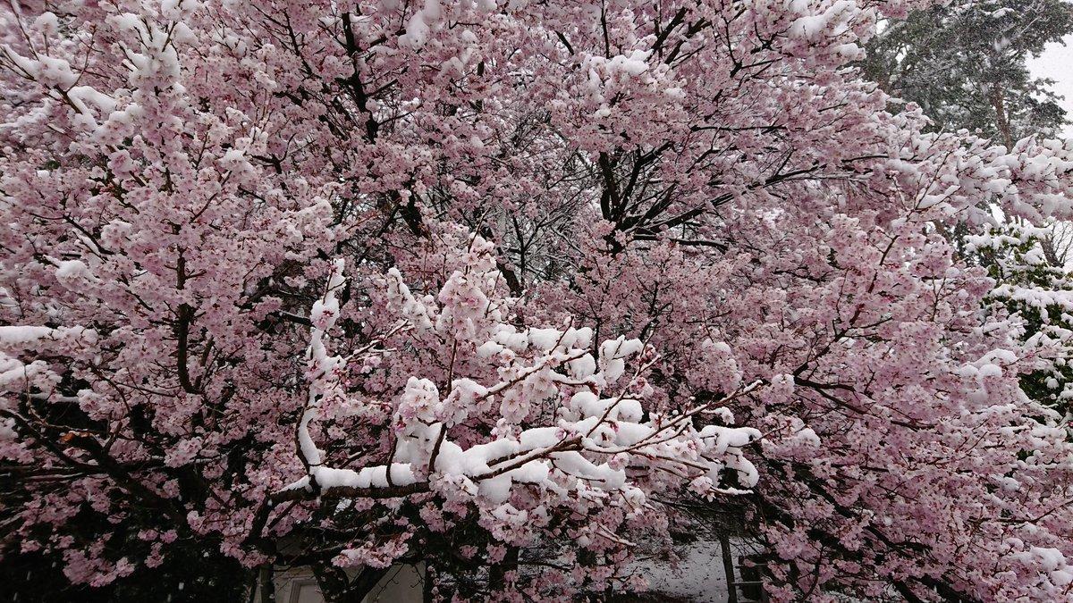 桜咲いてるのに雪降った…