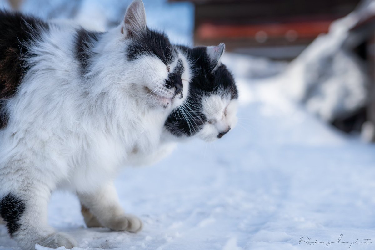 うちの近所にいるネコたちに、とてつもないリア充を見せつけられた… (ただただ可愛い)  #北海道 #ネコ #猫