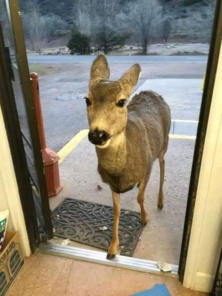 一頭のシカがコロラド州の店に入ってきて、店主がチョコレートチップクッキーをいくつかあげたらシカは店を出て30分後に家族全員でやって来ちゃった話が個人的に1番好き