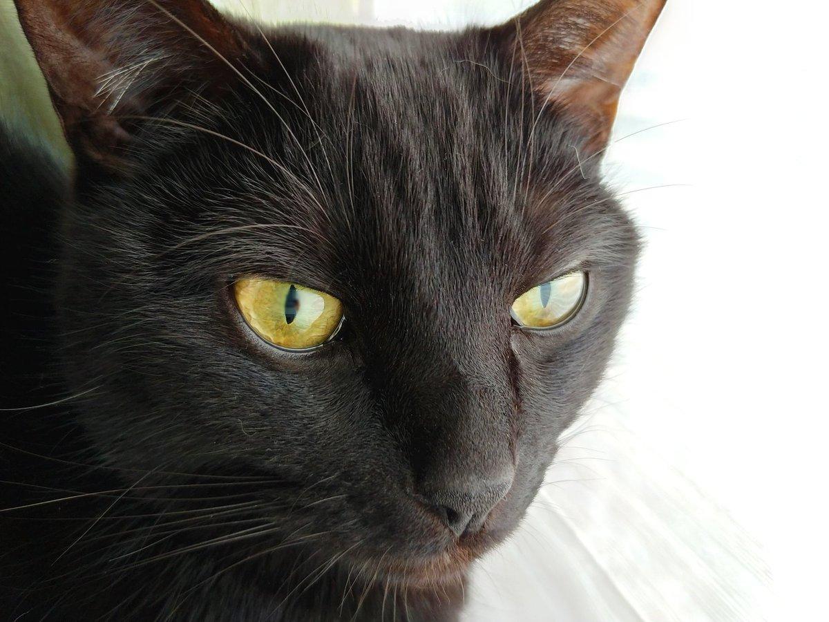 (「何も知らなかったら『棚の上に黒い帽子が置いてある』と思ってしまう」と配偶者談) あまりの丸さに思わずポンと手を乗せたら、黒猫は寝ていたのか油断していたのか大層驚いて「ピャーイ?!」と変な鳴き声出して振り返った