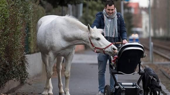 ドイツには14年間毎日、1頭だけで散歩する白馬がいる