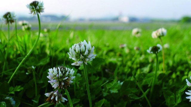 シロツメクサの草原