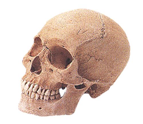 頭骨モデル SR1 頭蓋骨・男