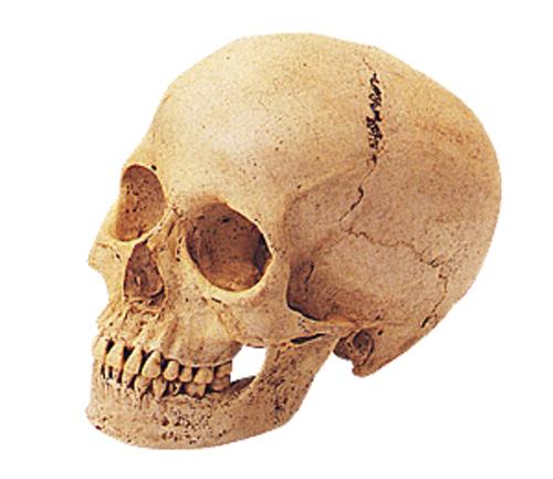 頭骨モデル SR2 頭蓋骨・女
