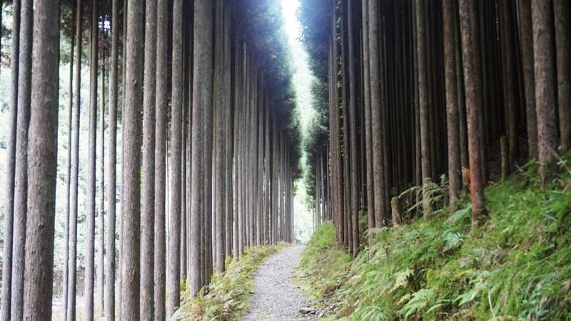 Walk among cedar trees