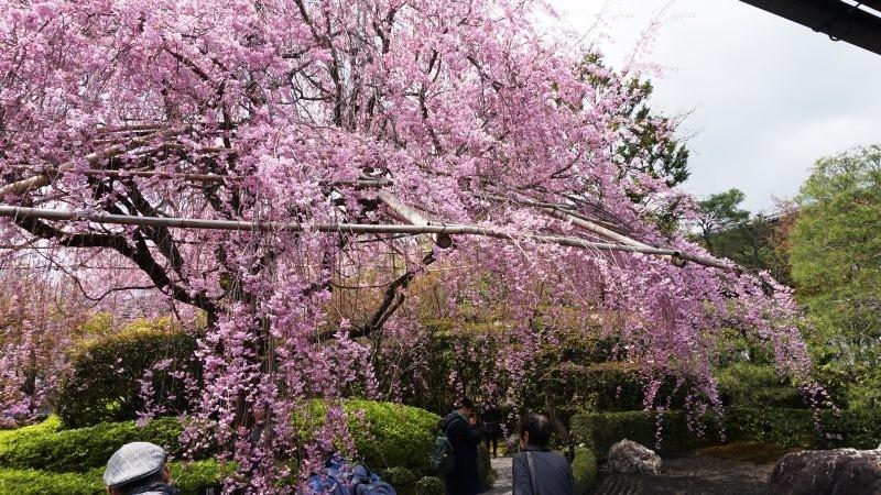 huge weeping cherry tree