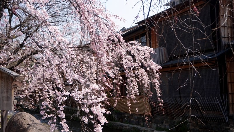 The weeping cherry trees
