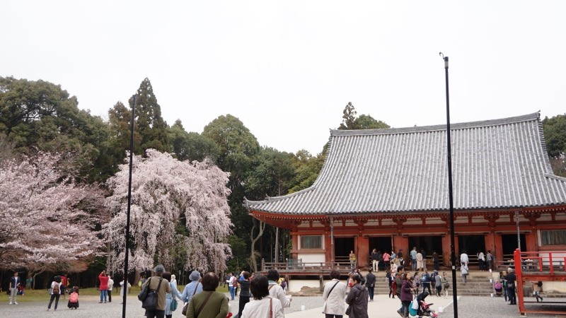 the main hall surrounded by cherry blossoms