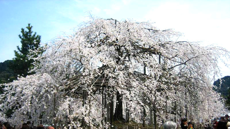 The famous weeping cherry trees