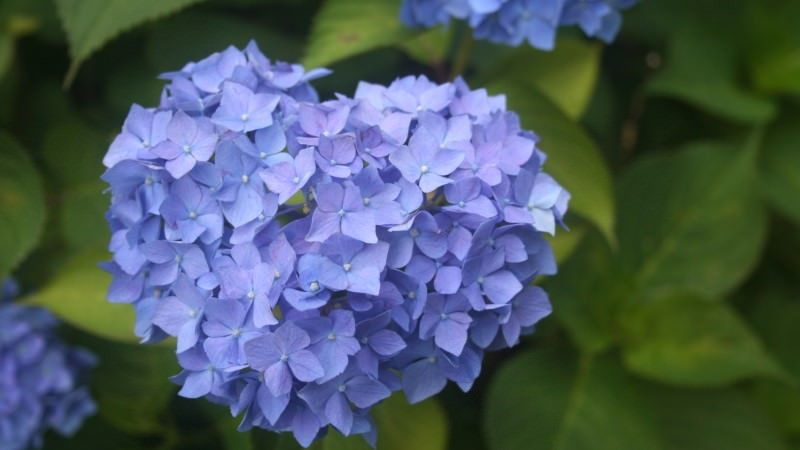 Heart-shaped hydrangeas