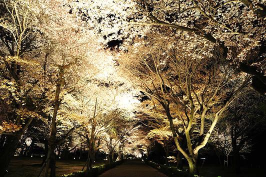 春天的櫻花照明