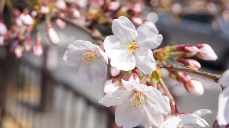 白色小小的櫻花真的很可愛啊