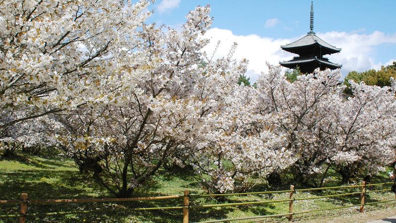 Omuro-Zakura (cherry blossoms)