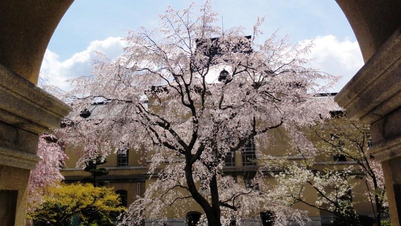 觀賞四月櫻花