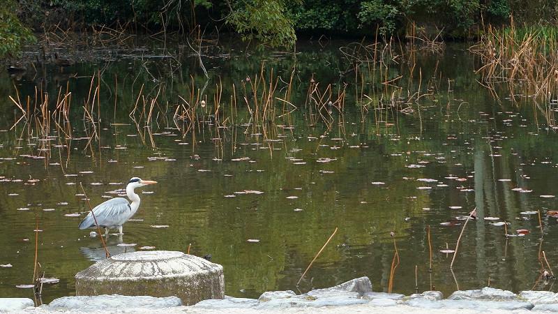 蒼鷺和水鳥