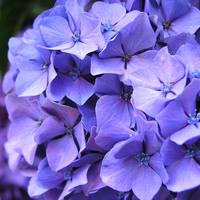 紫陽花RN