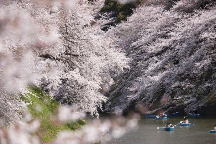 上野 公園 桜