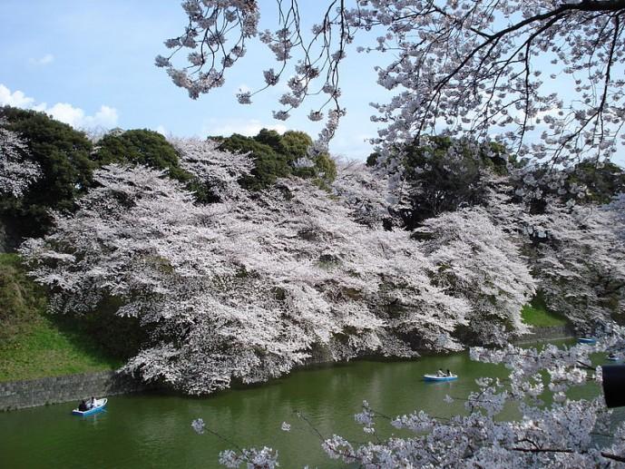 皇居 公園 桜