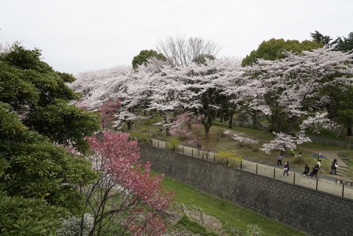 昭和記念公園 桜