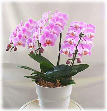 母の日に渡したい胡蝶蘭の鉢植えギフト