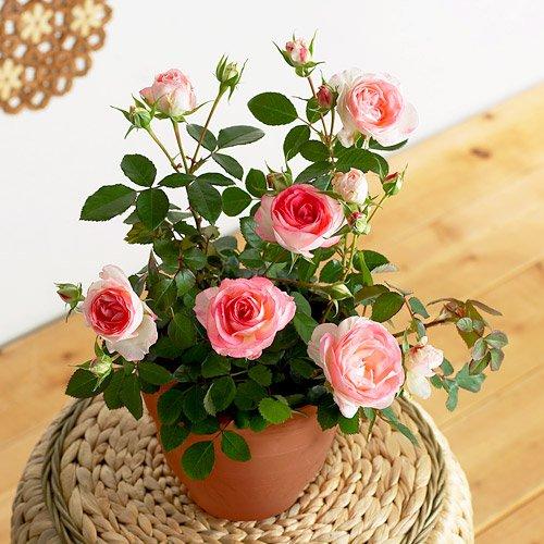 母の日に渡したいバラの鉢植えギフト