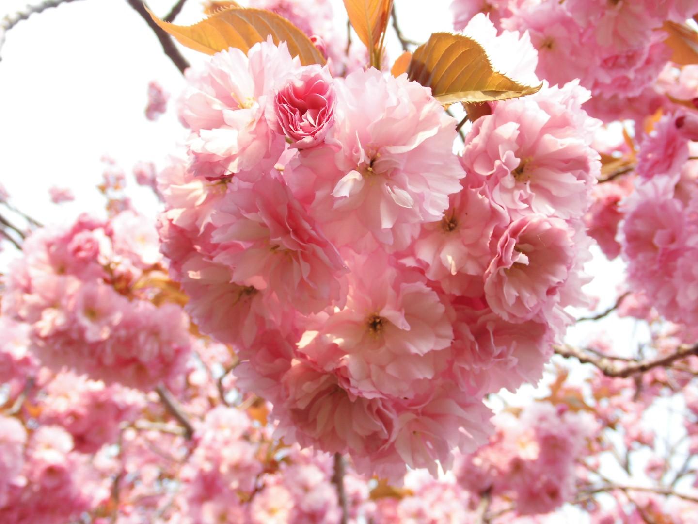 160519桜⑤ (Large)