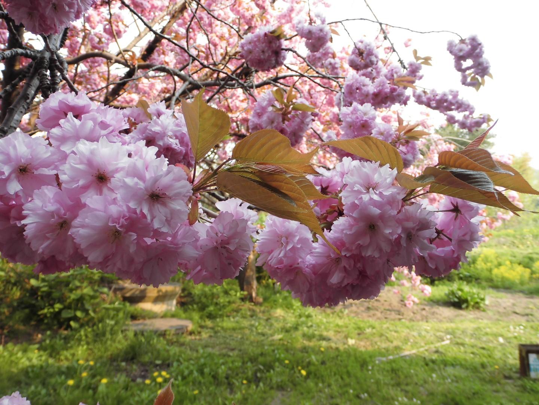 160519桜⑥ (Large)