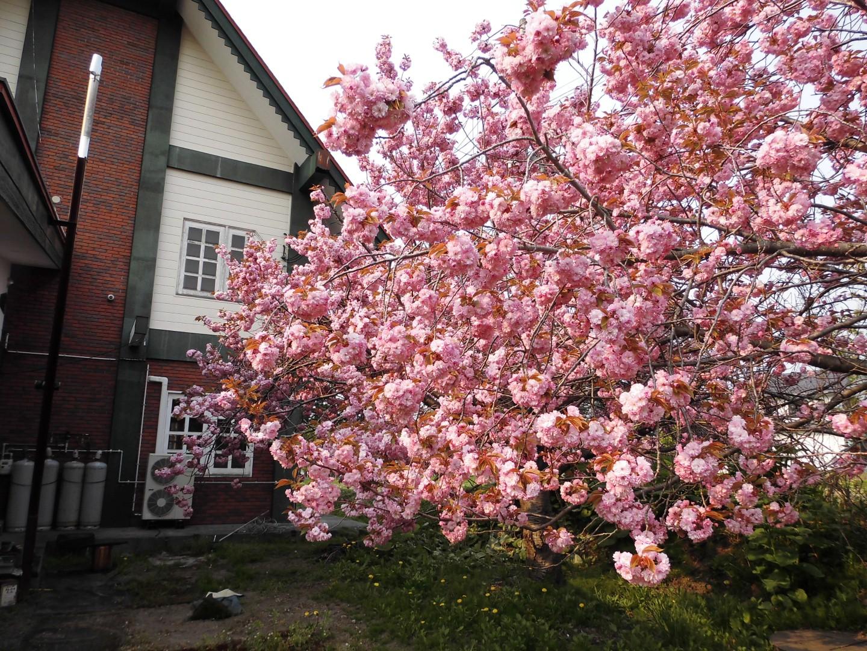 160519桜② (Large)
