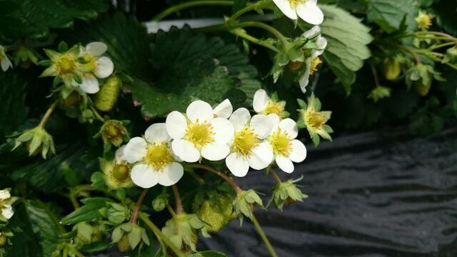 160531タカシナ観光果樹園いちごの花