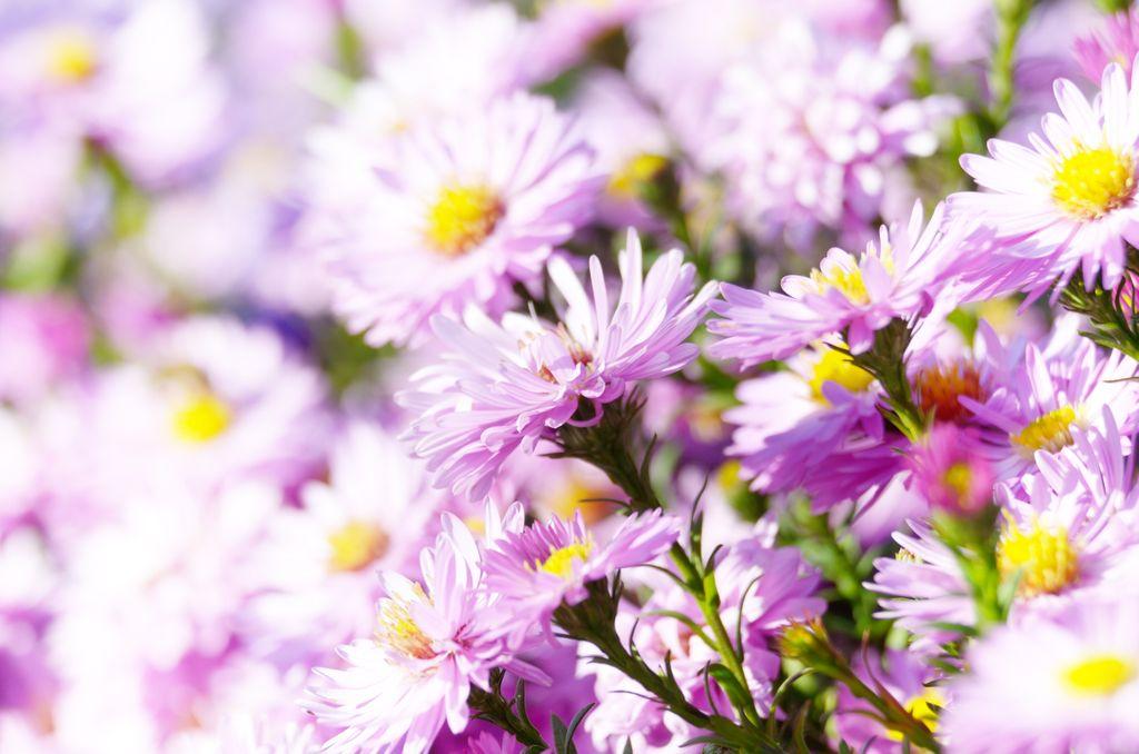 月影に 啼いて血を吐く つばくらめ 心にとまれ 紫苑植ゑなむ