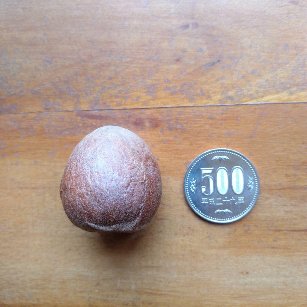 アボカド(👆これは種子です)を蒔いてみた:気長な顛末記