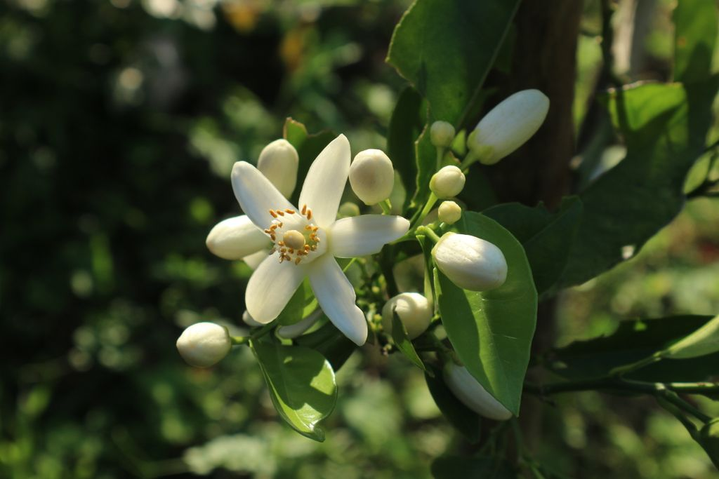 馨しき生クリームのごとき花蕾:バレンシアオレンジと甘酸っぱい記憶