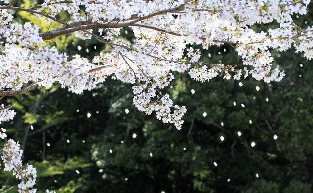 大人気ボカロ曲「千本桜」 海外でも愛されるその理由とは