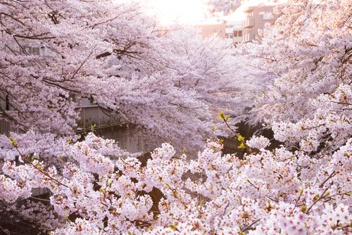 【お花見2018】東京の桜は駅近で楽しもう!人気スポット10選