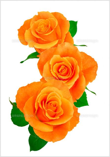 オレンジの薔薇00243010321の写真素材イラスト素材アマナイメージズ