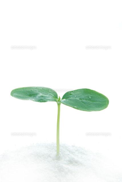 双葉の芽[00268010535]の写真素...