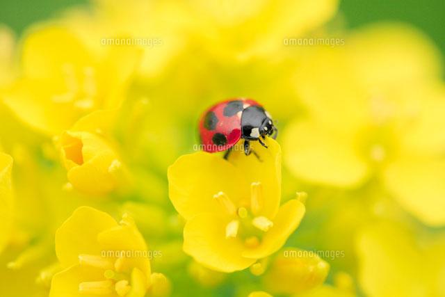 てんとう虫と菜の花[00545010252]| 写真素材・ストックフォト ...