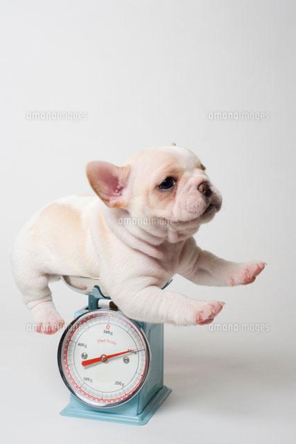 はかりに乗るフレンチブルドッグの子犬