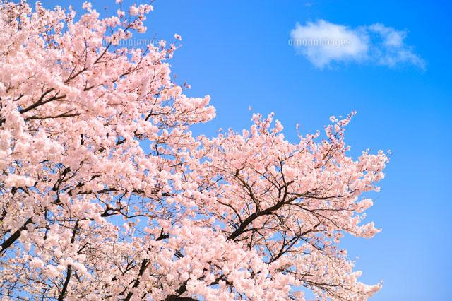 桜と空[00690010778]の写真素材・イラスト素材|アマナイメージズ