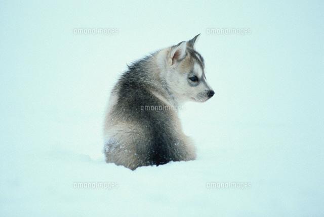 子犬シベリアンハスキー01053024541の写真素材イラスト素材