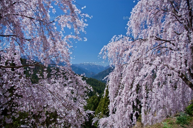 枝垂桜と剣山