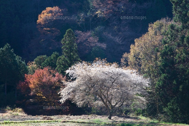 冬桜