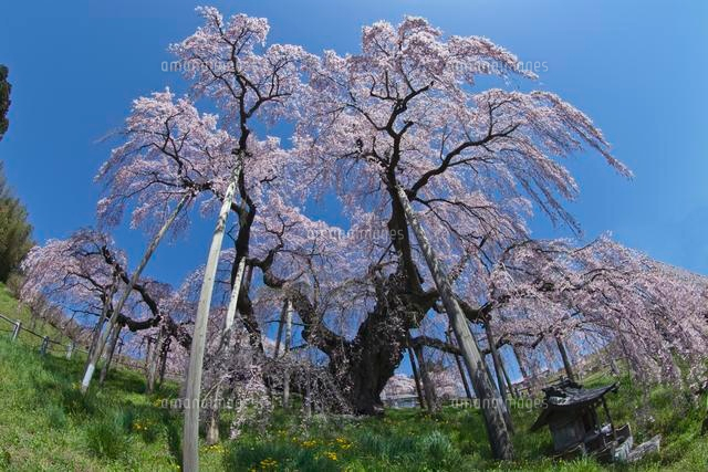 三春滝桜