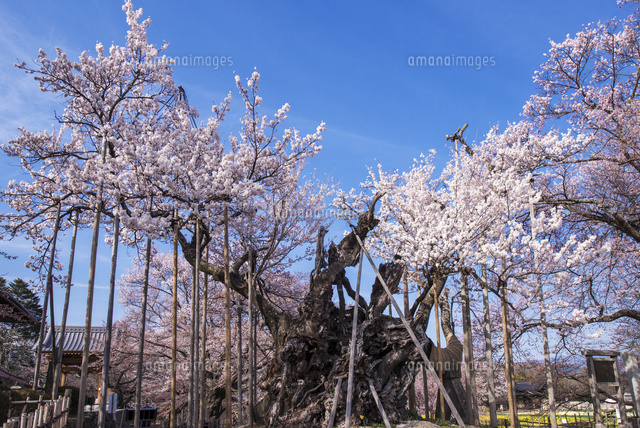 山高神代桜